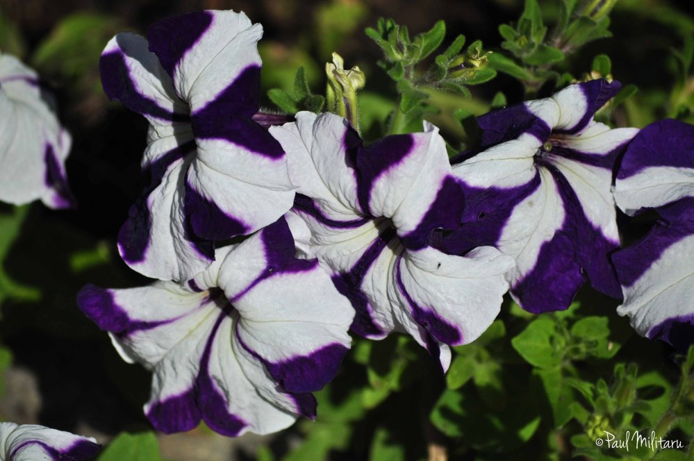 petunias in white and purple