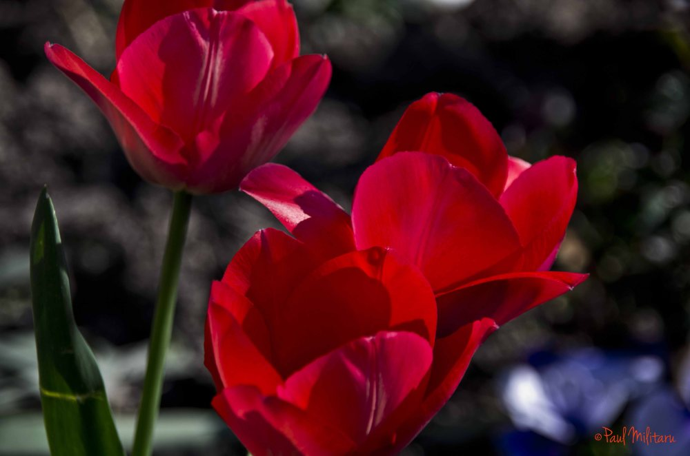 red tulips - a road to beauty