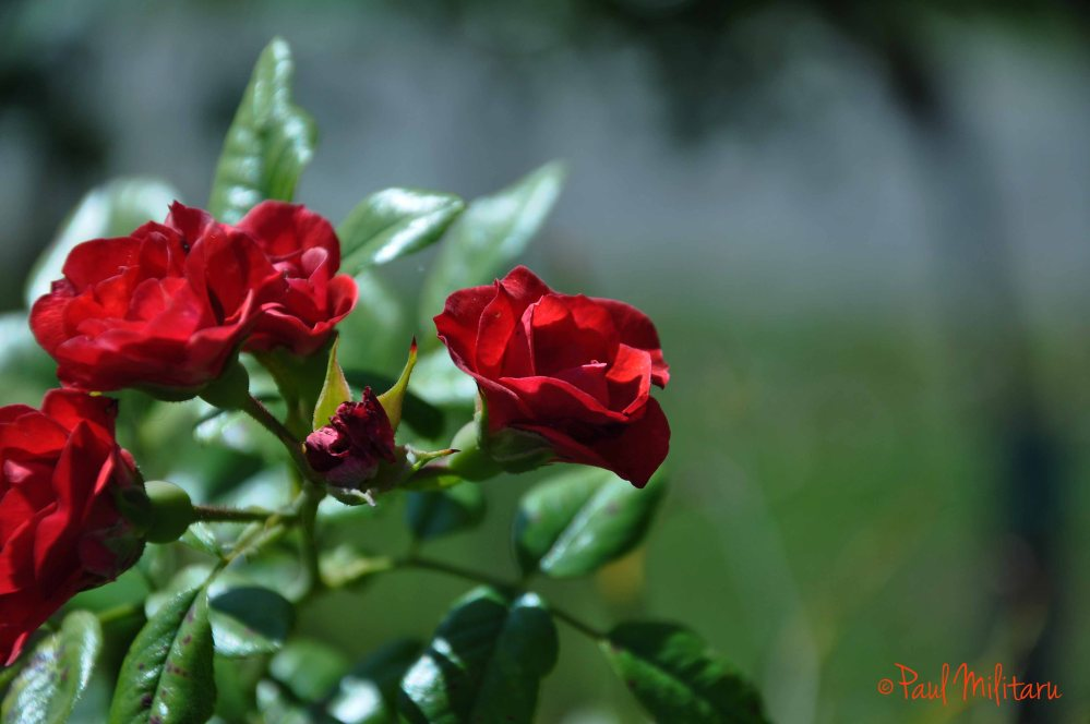 the eternal romance of the red rose