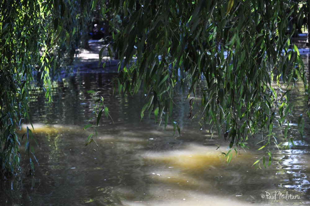 the shade of the shallow willow