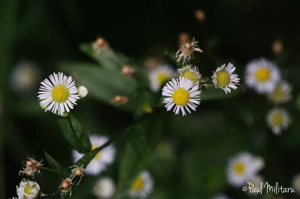white flowers of chamomile