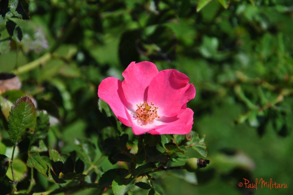 wild rose - a smile to the sun
