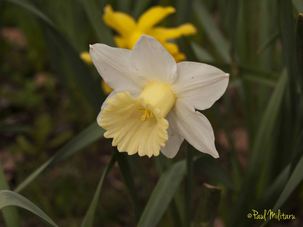 narcissus with the royal yellow crown