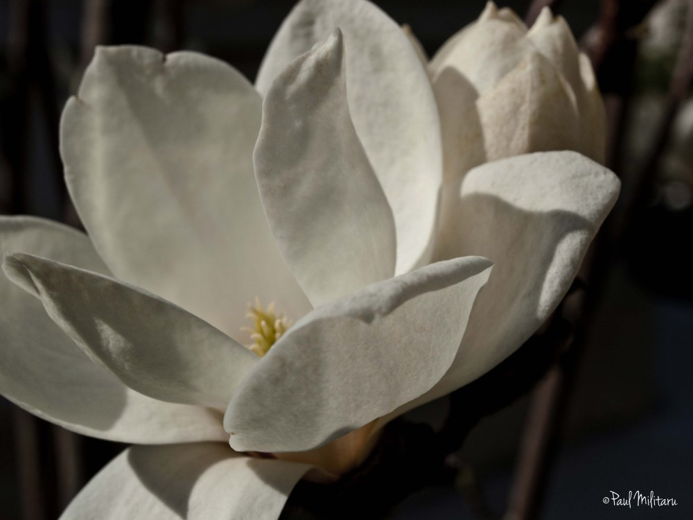 open white magnolia