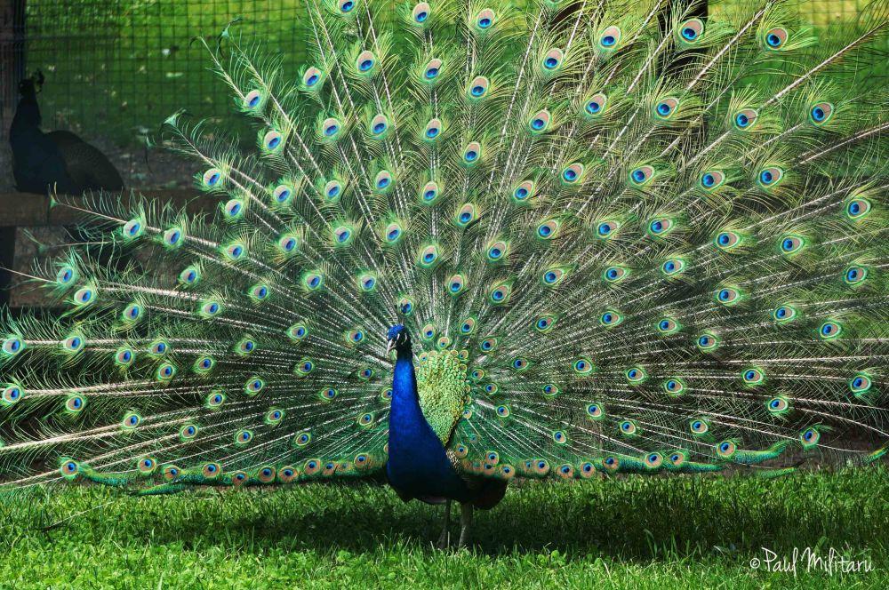 peacock in all its splendor