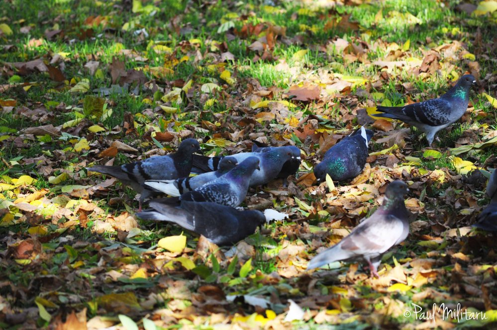 pigeons among the leaves
