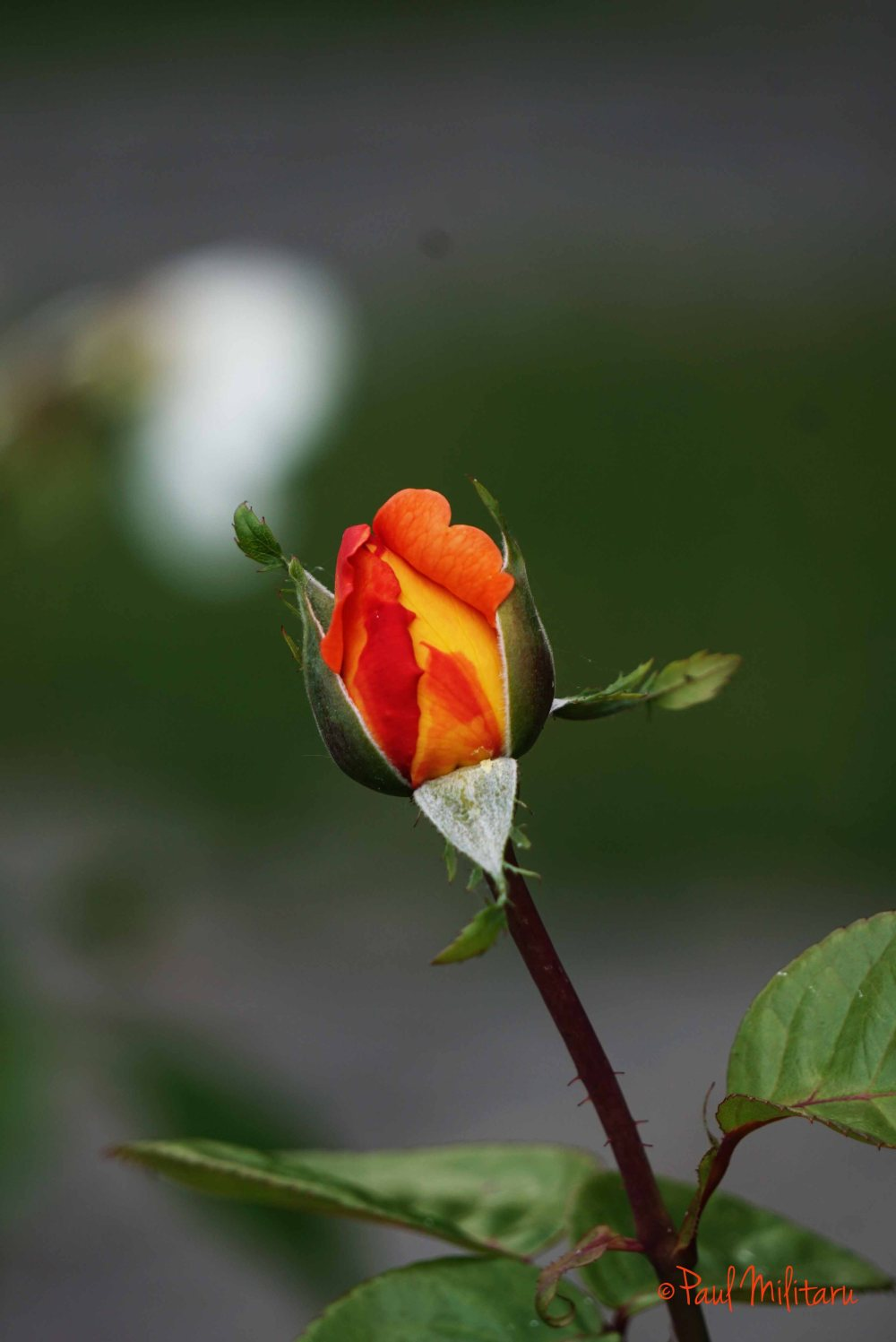 the beauty of a rose bud