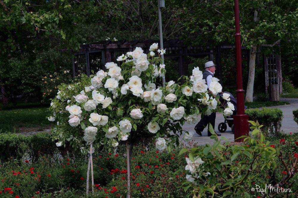 bush with white roses