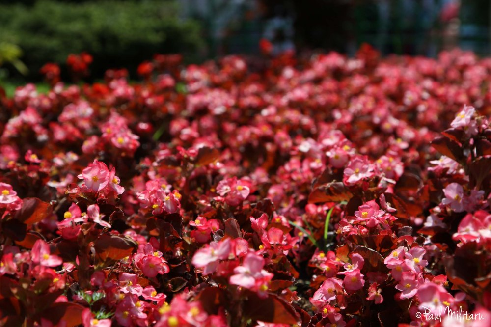 land of red ornamental flowers