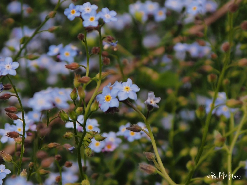light diffuse - forget me not