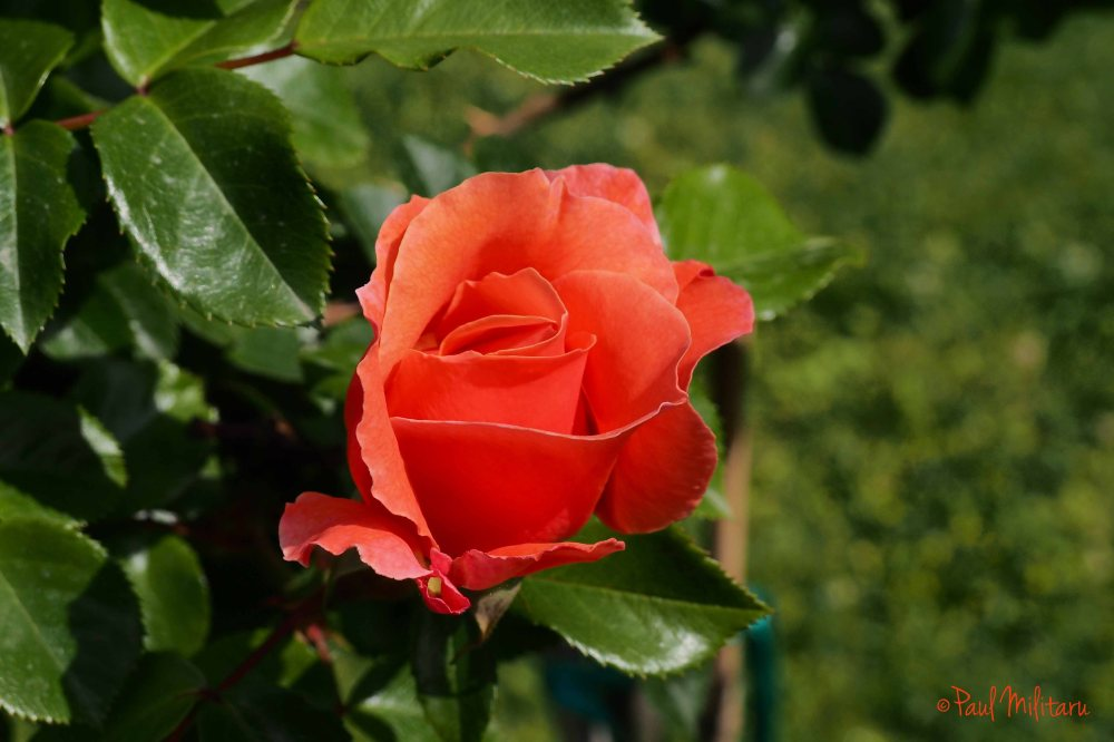 romance for a rose