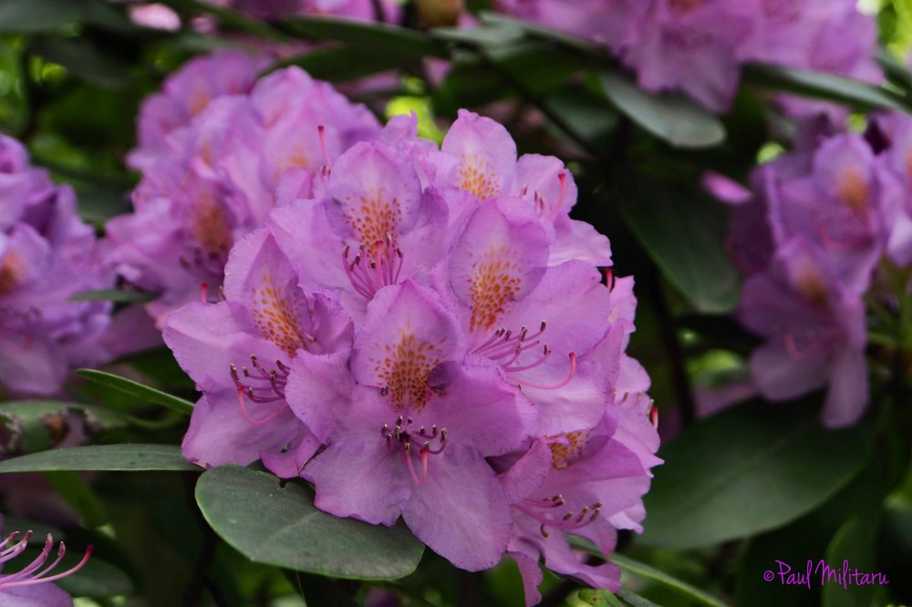 4-purple ornamental flowers