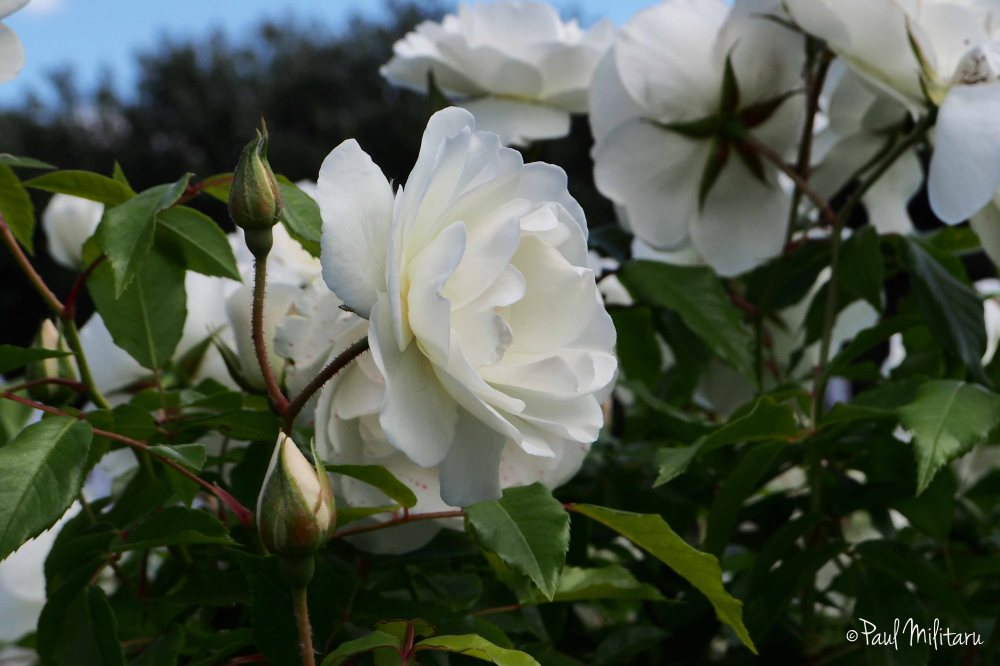 bush of white roses