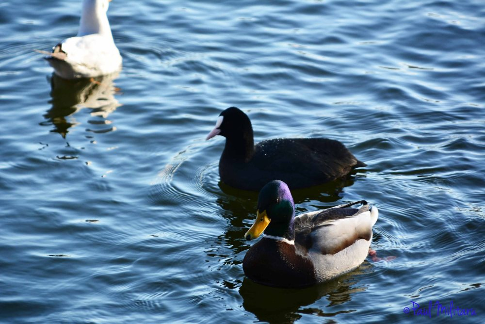 duck and coot