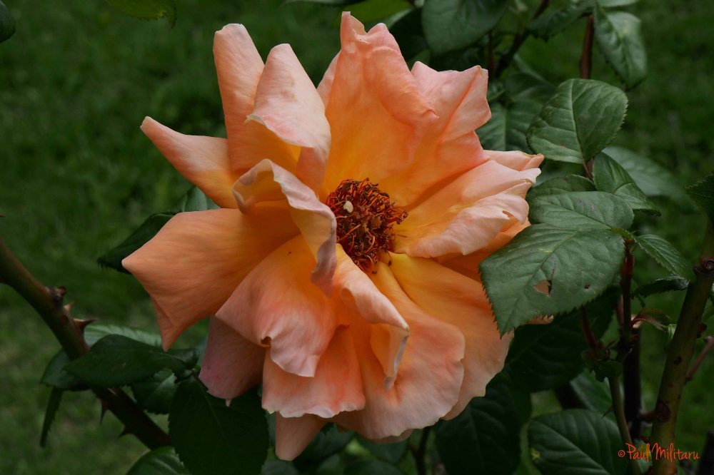 frizzy orange rose