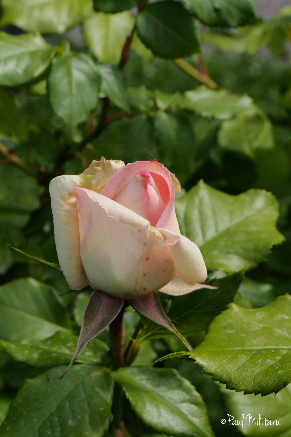 laced white-pink rose