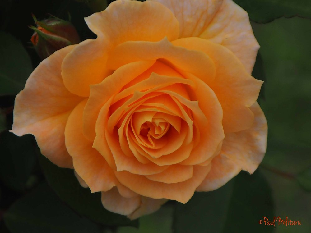 romantic orange beauty