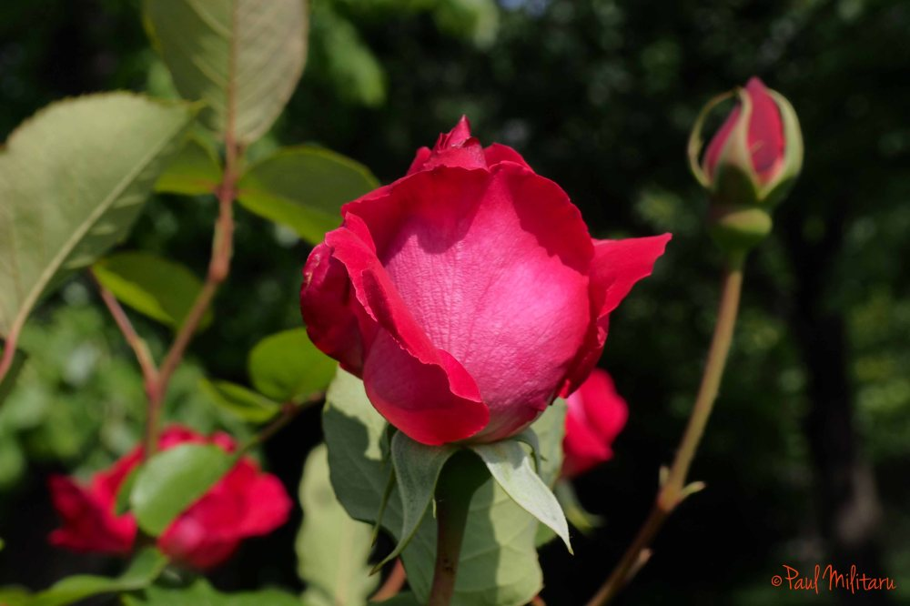rose red bud