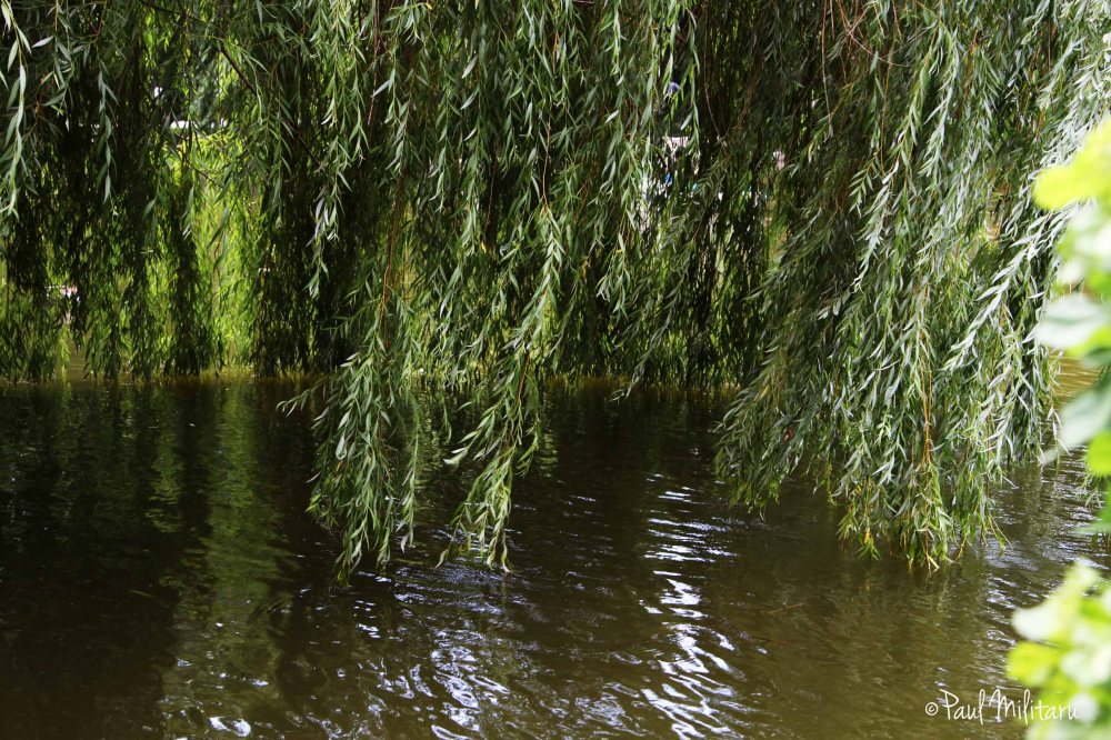 shadow of the shallow willow