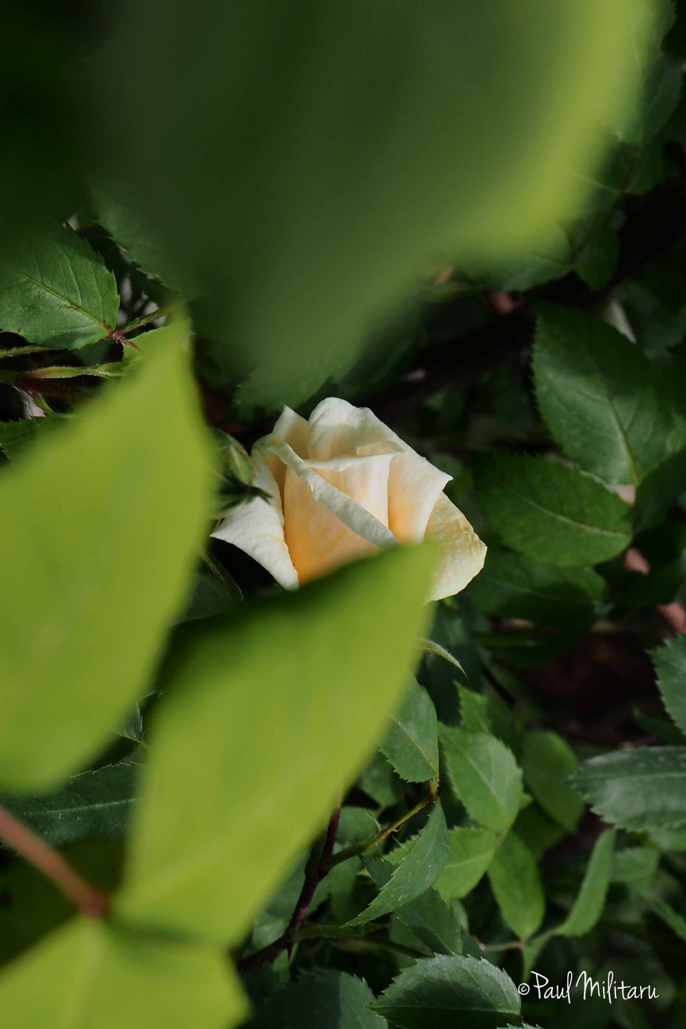 shy white rose