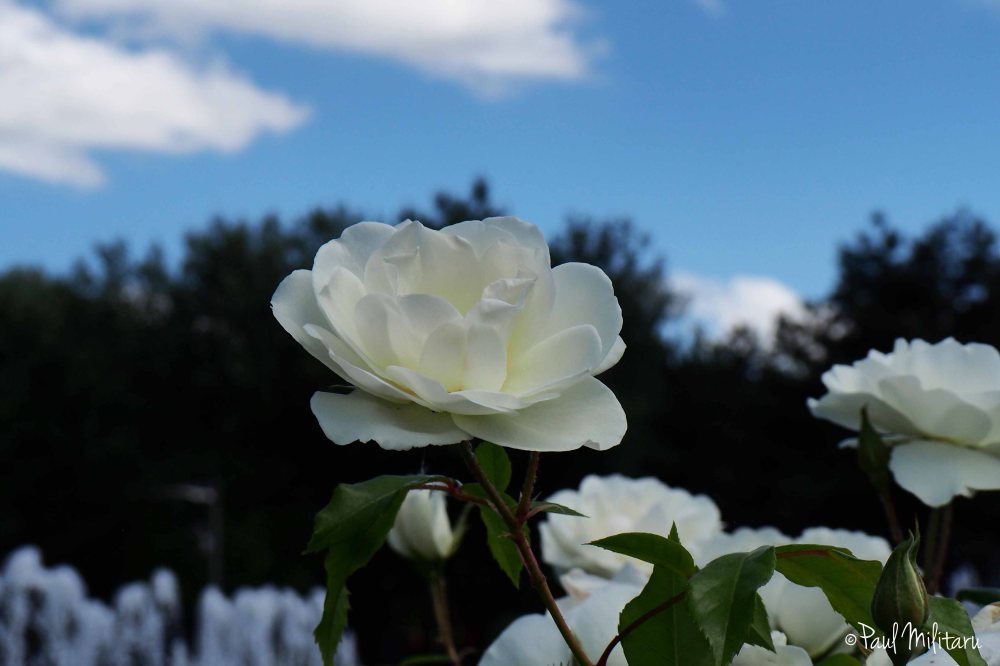 white rose and the sky