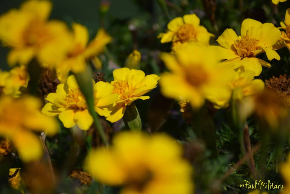 depth of field - marigold