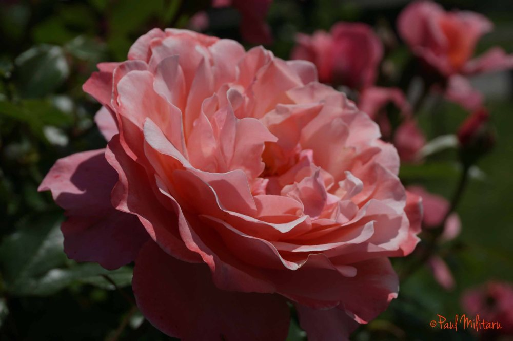 depth of field - pink rose