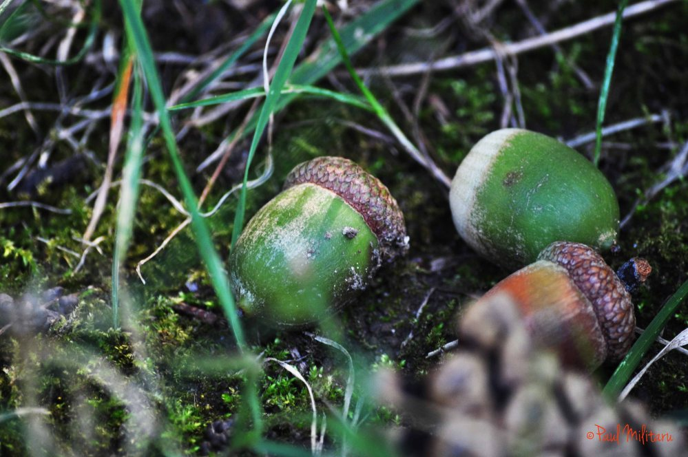 acorns touched by the autumn wing