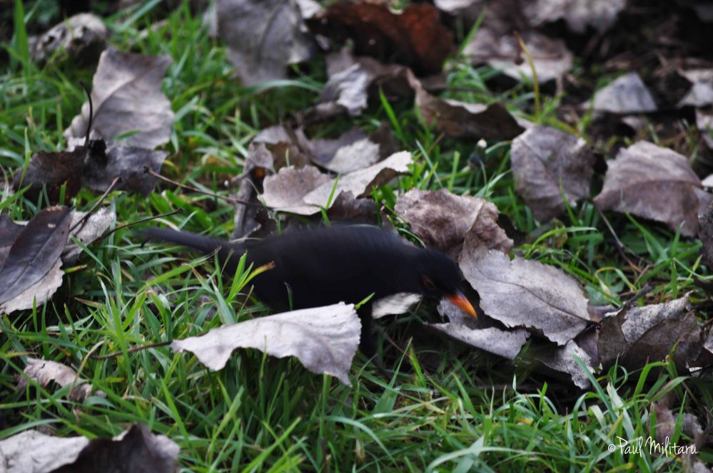 blackbird among the dry leaves