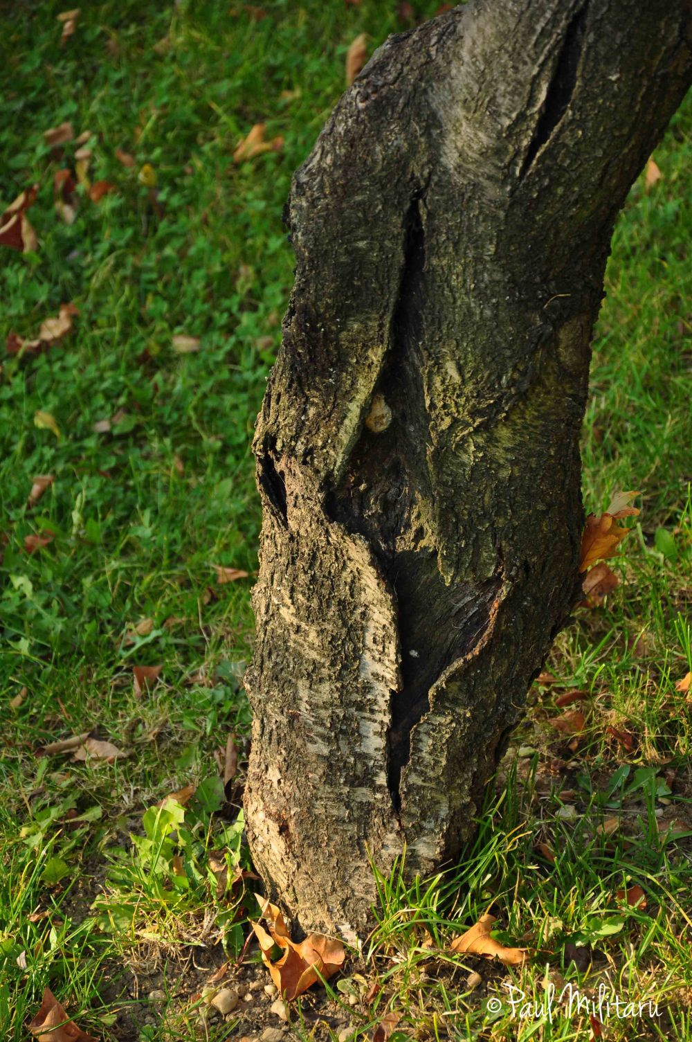 exfoliated tree bark