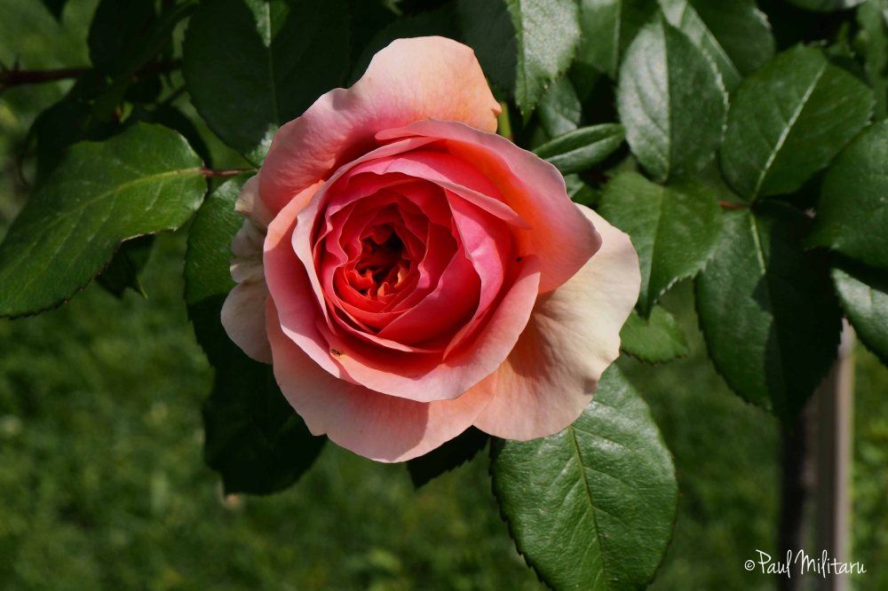 the beauty of the eternal rose