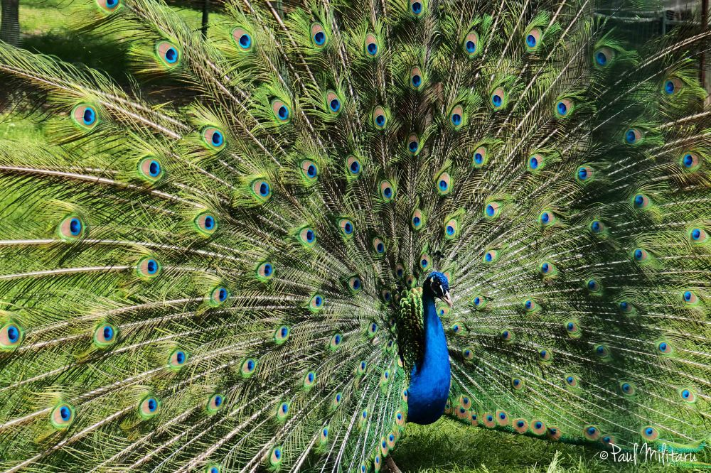 the portrait of a peacock