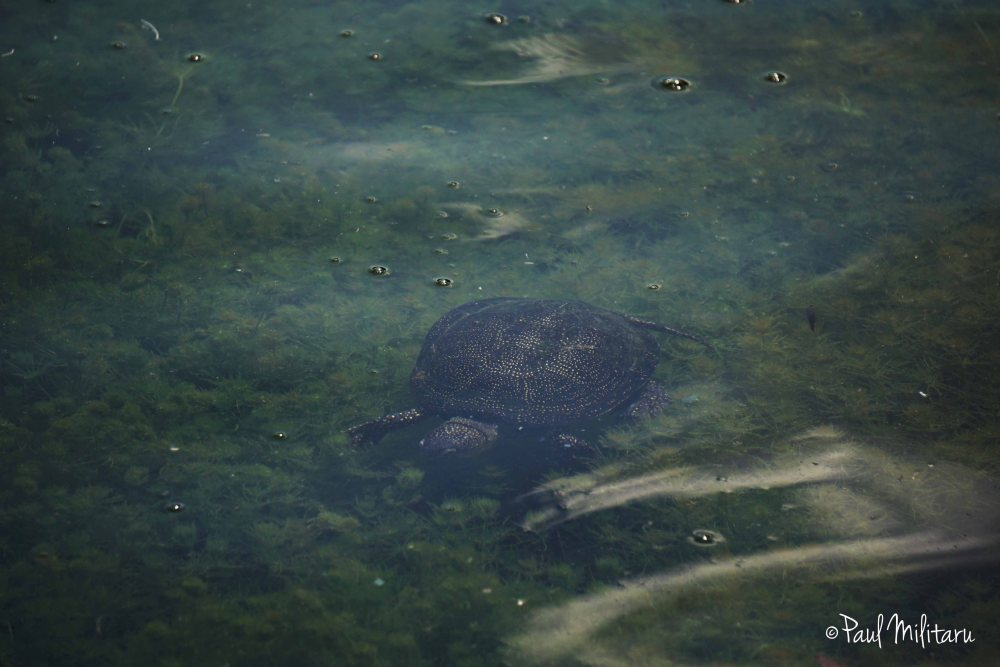 turtle in aquatic environment