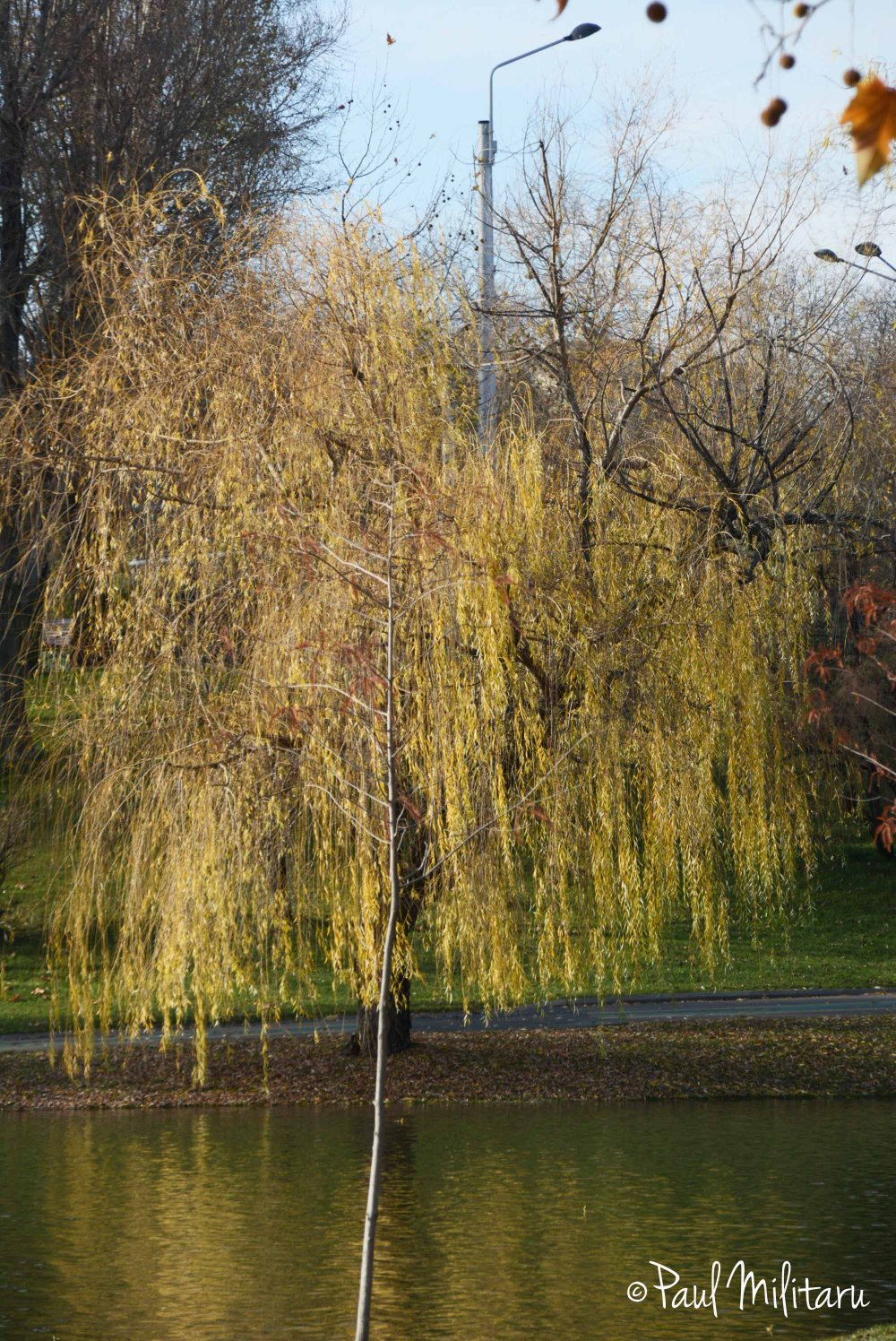 willow in the fall
