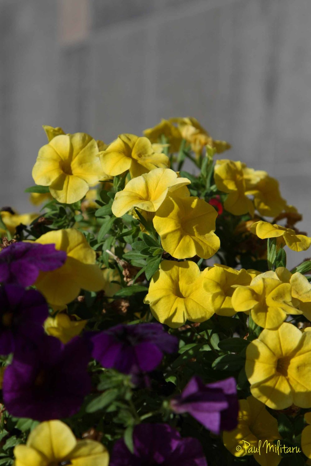 yellow and purple petunias