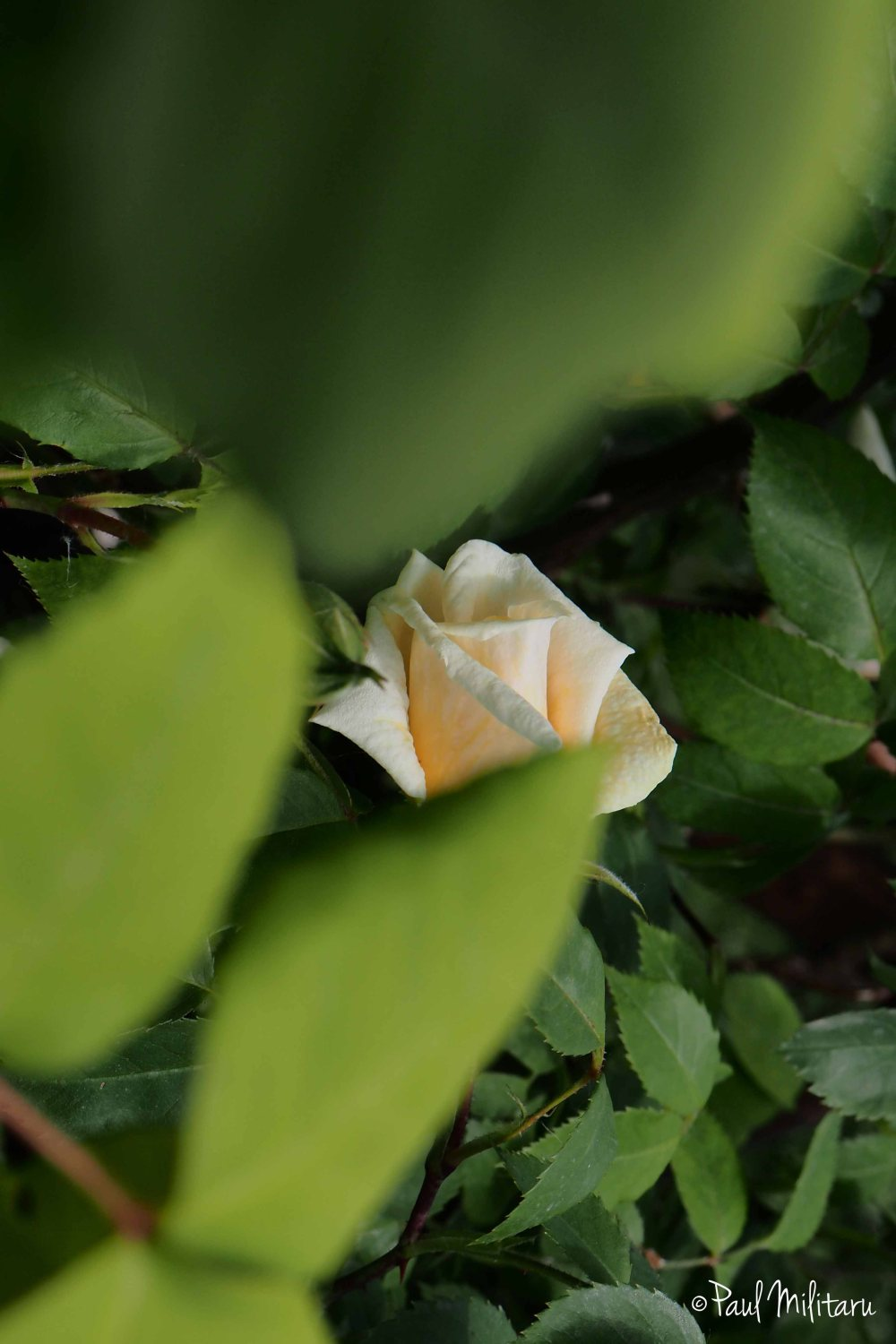 hidden white rose