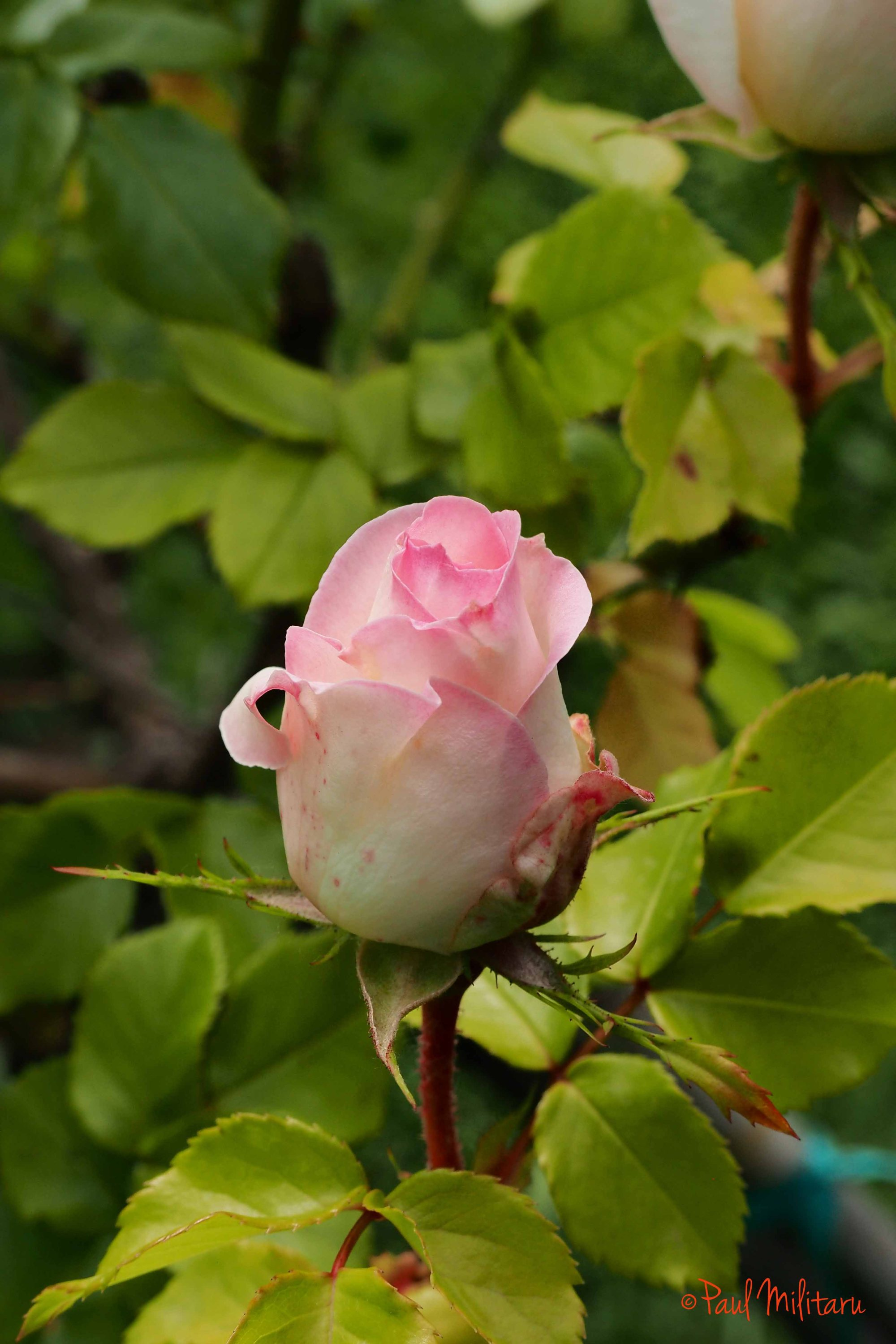 pink bud in bloom