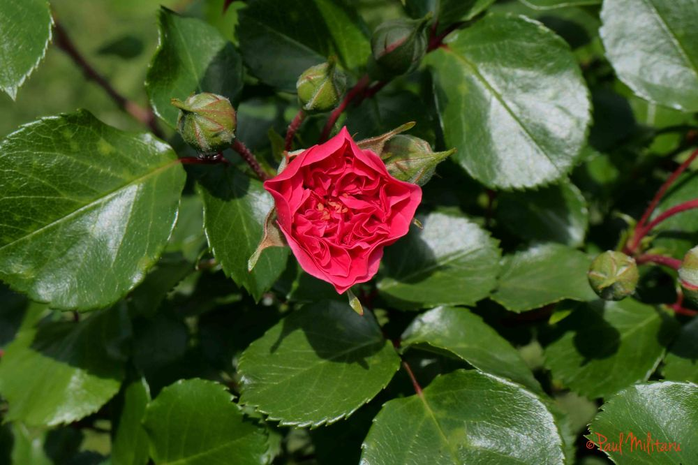 rose in bloom and buds