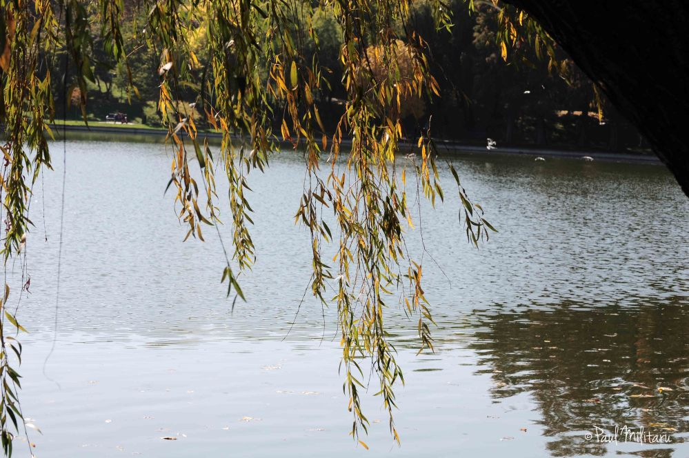 willow-yellow leaves