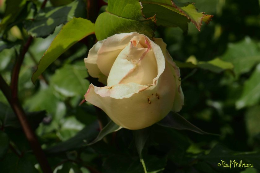 cream bud rose