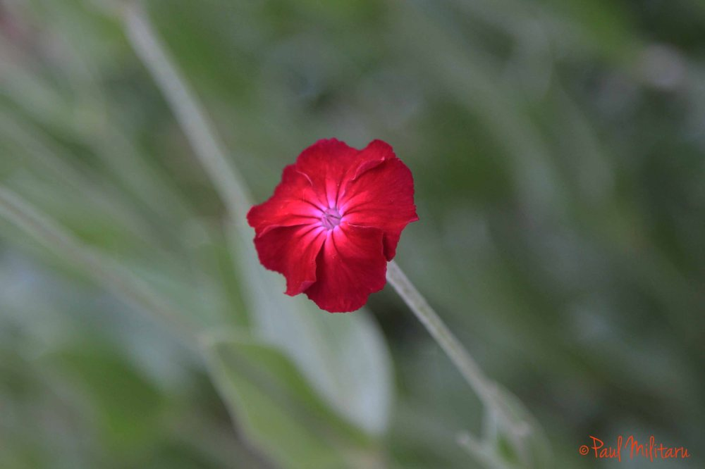 delicate red wildflower
