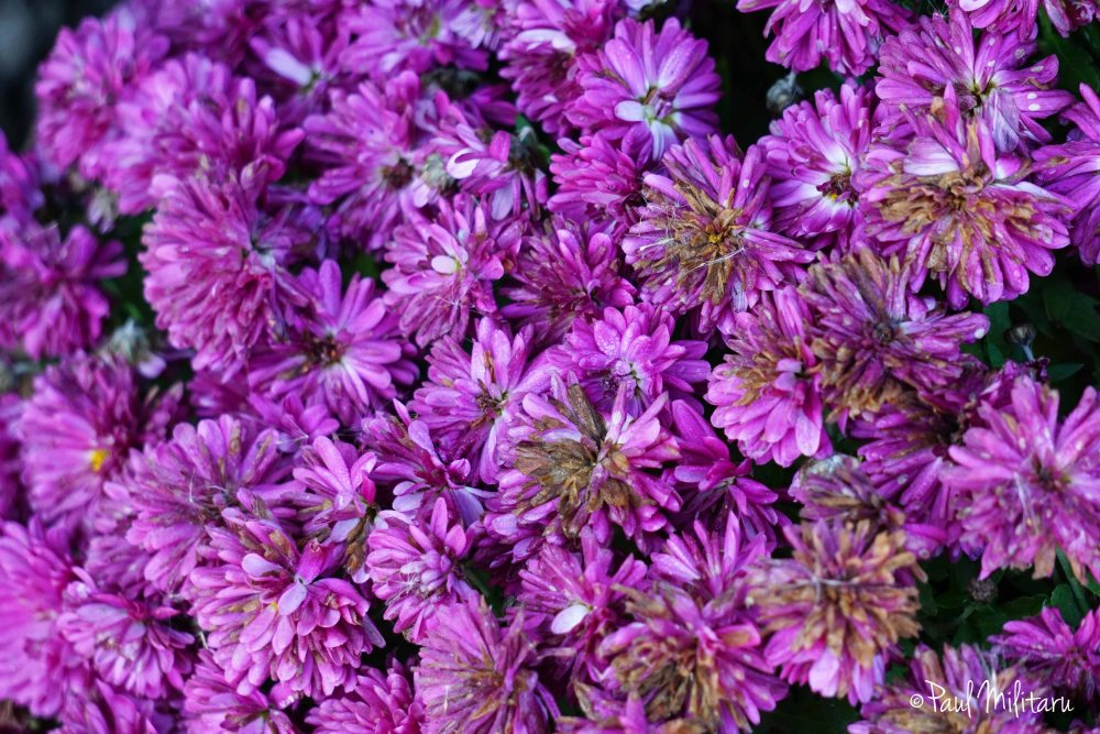 explosion of purple - chrysanthemum purple