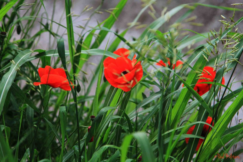 grass and poppy