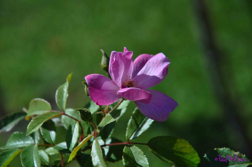 purple wild rose