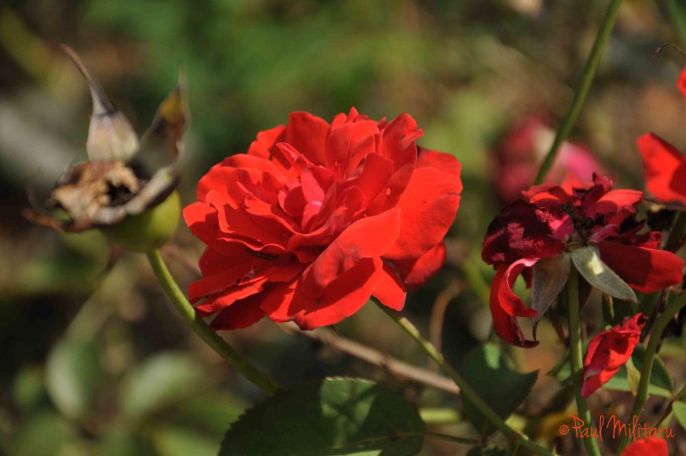 red roses in late autumn