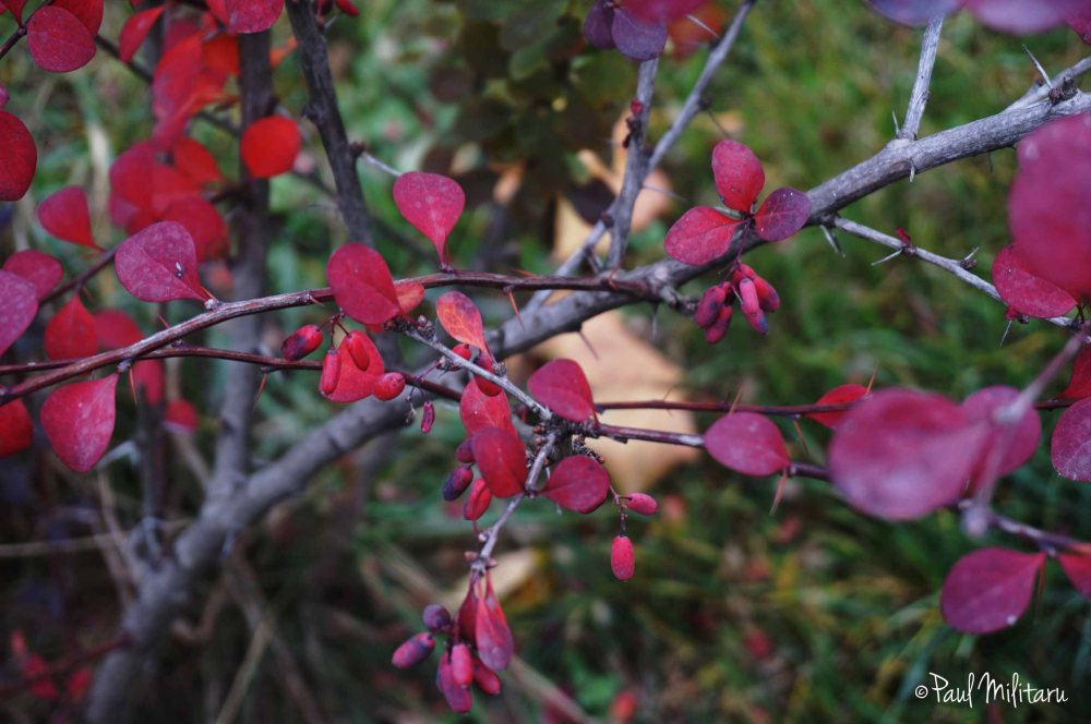 red to purple leaves