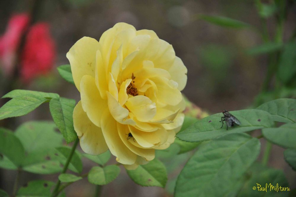 yellow rose and a fly