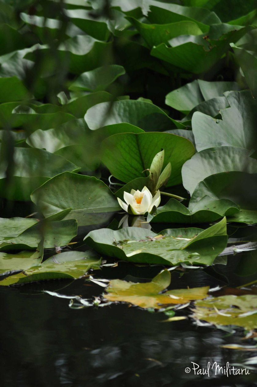 a lonely water lily