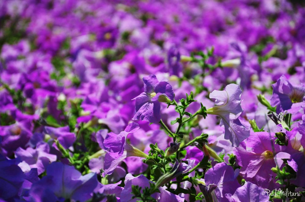 a sea of purple petunias