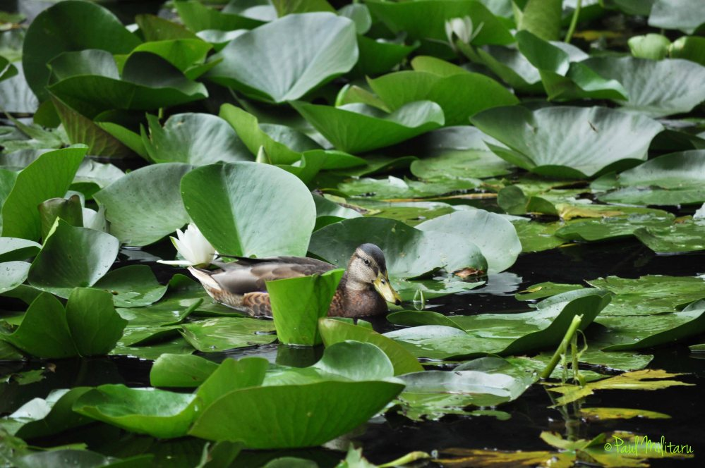 duck among the leaves of water lilies